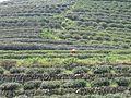 Tea plantations China3.JPG