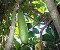 Tecomanthe Speciosa Seed Pod.jpg