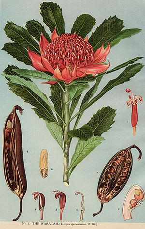 Waratah - Telopea speciosissima floral morphology