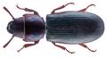Tenebroides mauritanicus (Linnaeus, 1758) (31822042556).png