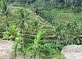 Tetallalang - Rice Paddies - panoramio (3).jpg