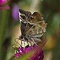 Texas Powdered Skipper, Systasea pulverulenta. (9501138978).jpg