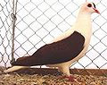 Thüringer Flügeltaube rot.jpg