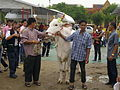 Thai Royal Ploughing Ceremony 2009 - royal ox after the ceremony.jpg