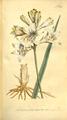 The Botanical Magazine, Plate 318 (Volume 9, 1795).png