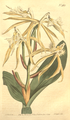 The Botanical Magazine, Plate 463 (Volume 13, 1799).png