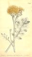 The Botanical Magazine, Plate 494 (Volume 14, 1800).png