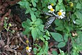 The Common Tiger (Danaus genutia) (6263275414).jpg