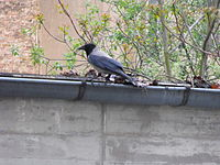 The Crow and the rain gutter 1.jpg