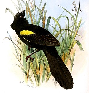 Yellow-mantled widowbird - Breeding males of race E. m. subsp. macrocercus have black rather than yellow mantle plumage