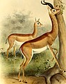 The book of antelopes (1894) (14780050964).jpg