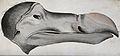 The head of a dodo. Coloured stipple engraving. Wellcome V0022384.jpg