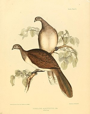 White-bellied chachalaca - Image: The zoology of the voyage of H.M.S. Sulphur (8330020110)