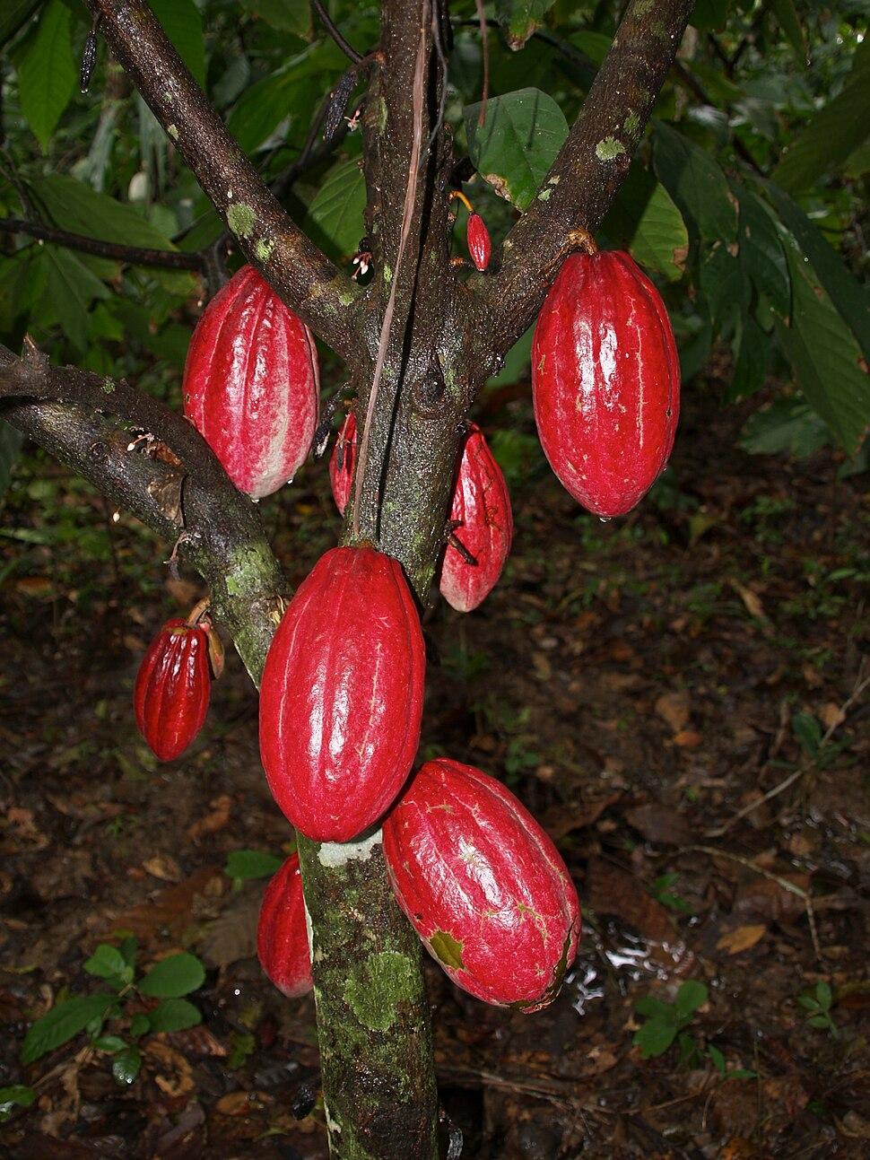 Theobroma cacao (red pods - Haiti)