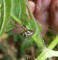 Theridiidae.^ ( Achaearanea tepidariorum^) - Flickr - gailhampshire.jpg