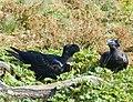 Thick-billed Raven Courtship, Simien Mountains, Ethiopia (2458683326).jpg