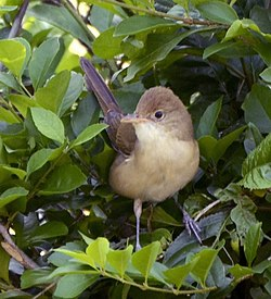 Thick-billed warbler (Iduna aedon) from The Anamalai hills JEG0635 (cropped).jpg