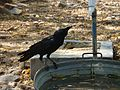 Thirsty Crow in Delhi Heat.jpg