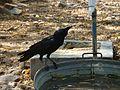 Thirsty Crow in Delhi Heat.jpg