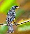 Thraupis bonariensis -Piraju, Sao paulo, Brasil-8.jpg