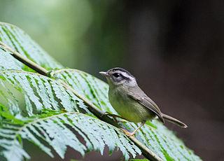 Black-eared warbler species of bird