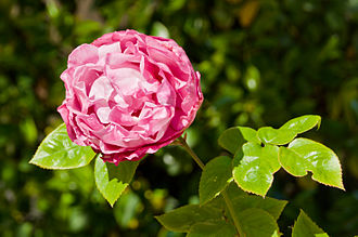 Three Rivers, California - Rose at Western Holiday Lodge garden