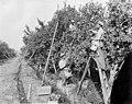 Three men picking apples in orchard, Yakima Valley, ca 1910s (INDOCC 1364).jpg