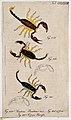 Three scorpions; a male and female Scorpius banaticus and Sc Wellcome V0022408ER.jpg