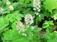Tiarella cordifolia2