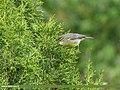 Tickell's Leaf Warbler (Phylloscopus affinis) (24360407638).jpg