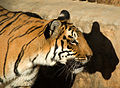 Tiger -Bannerghetta Zoo, Bangalore, India-8.jpg