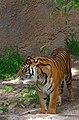 Tiger in Los Angeles Zoo.jpg