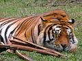 Tigre de Bengala.JPG