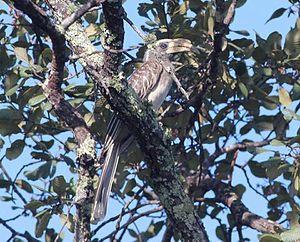 Pale-billed hornbill - Female L. p. subsp. pallidirostris in Angola