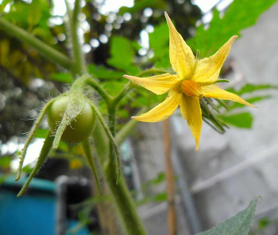 Tomato flower and young fruit