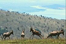 Rwanda-Biodiversity-Akagera 1980 1 Topi