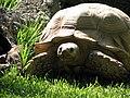 Tortoise - Lagos Zoo - The Algarve, Portugal (1735672131).jpg