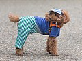 Toy Poodle wearing clothes in Tokyo.jpg