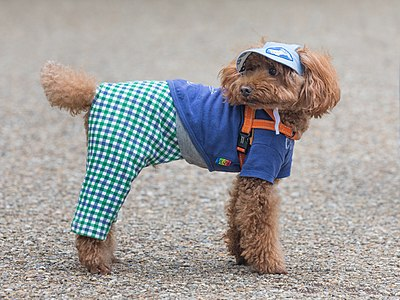 Toy Poodle wearing clothes in Tokyo