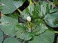 Trapa japonica flower in Oyori, Kanzaki.jpg