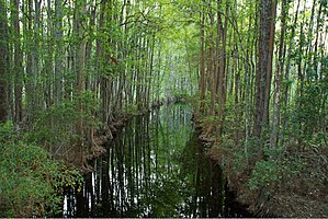 Okefenokee Swamp Park - Tree Canopy of Okefenokee Swamp.