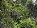 Tree Ferns, Marojejy National Park, Madagascar (4022340371).jpg