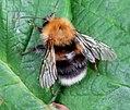 Tree bumblebee (RLs) (34742598795).jpg