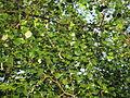 Tree ilanthai.jpg