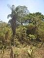 Tree in Ometepe.jpg