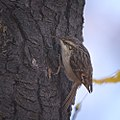Treecreeper (25360222119).jpg