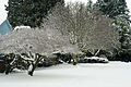Trees and snow in Seattle 2008.jpg