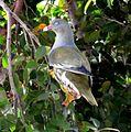 Treron calvus glaucus, in vyeboom, r, Pretoria.jpg