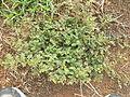 Tribulus terrestris plant3 (16377482822).jpg