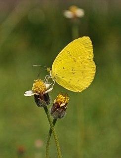 <i>Eurema</i> Butterfly genus in family Pieridae